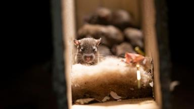 Rats Use Their Skills to Become the Ultimate Urban Animal