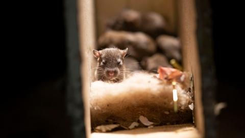 S1 E3: Rats Use Their Skills to Become the Ultimate Urban Animal