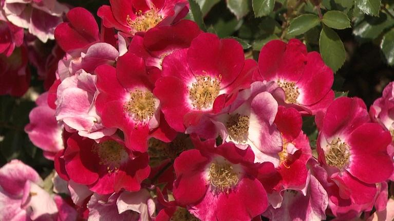 Backyard Farmer: Backyard Farmer: Spring Rose Care and Conifers