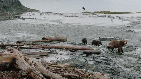 Wild Alaska Live -- Wild Moments: Bears