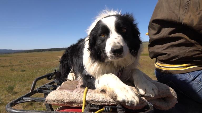Farm to Fork Wyoming: Working Dogs