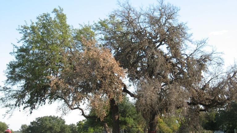 Central Texas Gardener: Oak Wilt