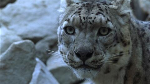 Nature -- Living with Snow Leopards–Tashi's Story: A NATURE Short Film