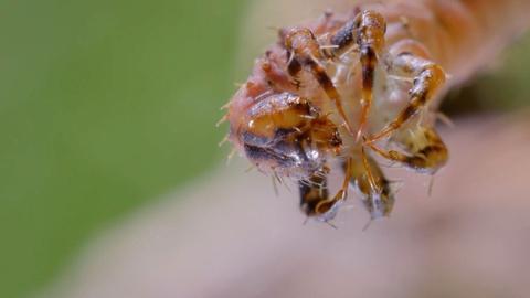 Nature -- How Carnivorous Caterpillars Attack Their Prey