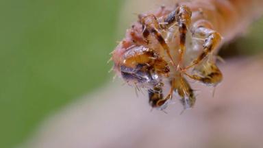How Carnivorous Caterpillars Attack Their Prey