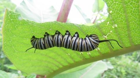 Monarch Larva Monitoring Project - Spanish