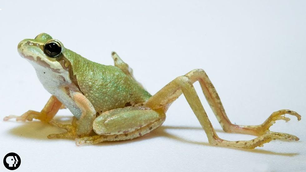 Why Does This Frog Have So Many Legs?! image