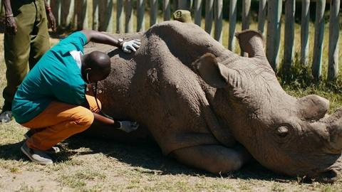 Nature -- Caring for the World's Most Famous Rhino