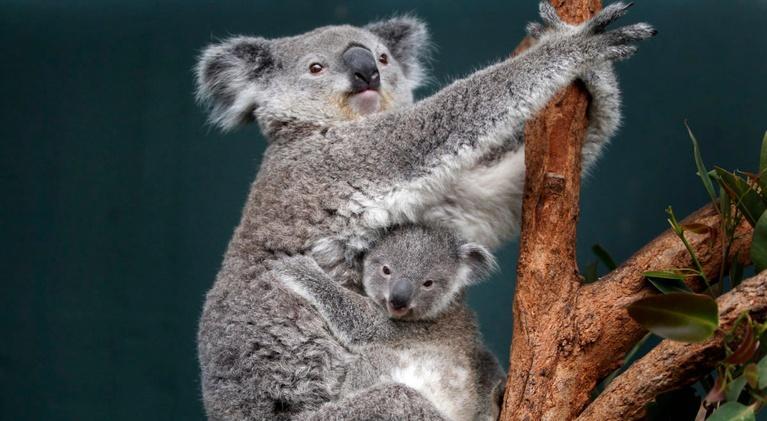 PBS NewsHour: Australia's effort to revert koala extinction