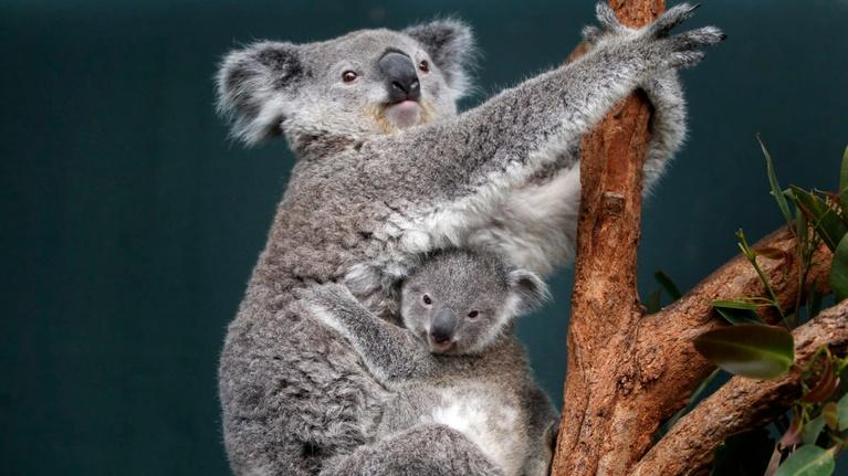 PBS NewsHour: Australia's effort to revert koala extinction