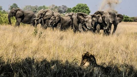 Nature -- Elephants Mourn A Killed Buffalo