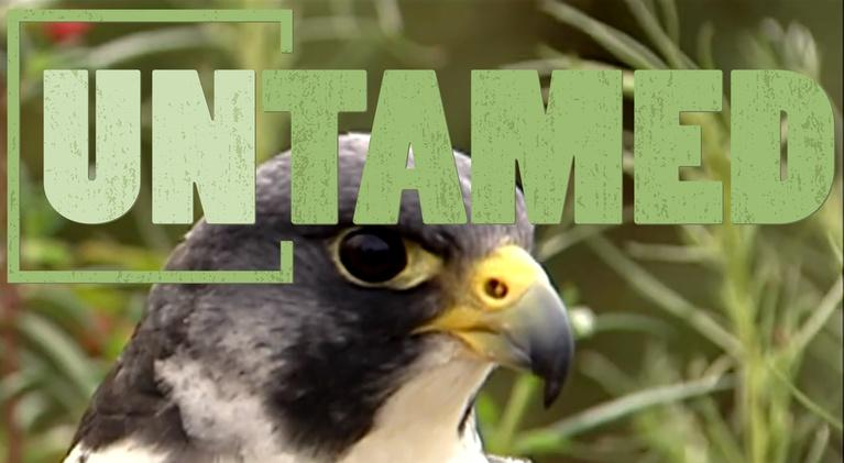 Untamed: Untamed - Hawks and Falcons