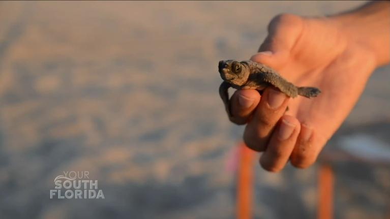 Your South Florida: Sea Turtle Nesting Season