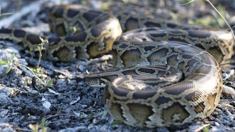 Nature -- People Fight Back Against the Invasive Burmese Python
