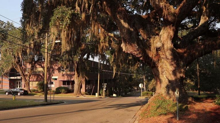 Local Routes: Live Oaks in Tallahassee Part 2|The Urban Forest