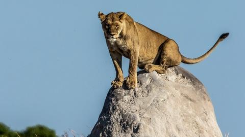 Nature -- Lions Take Down Warthogs