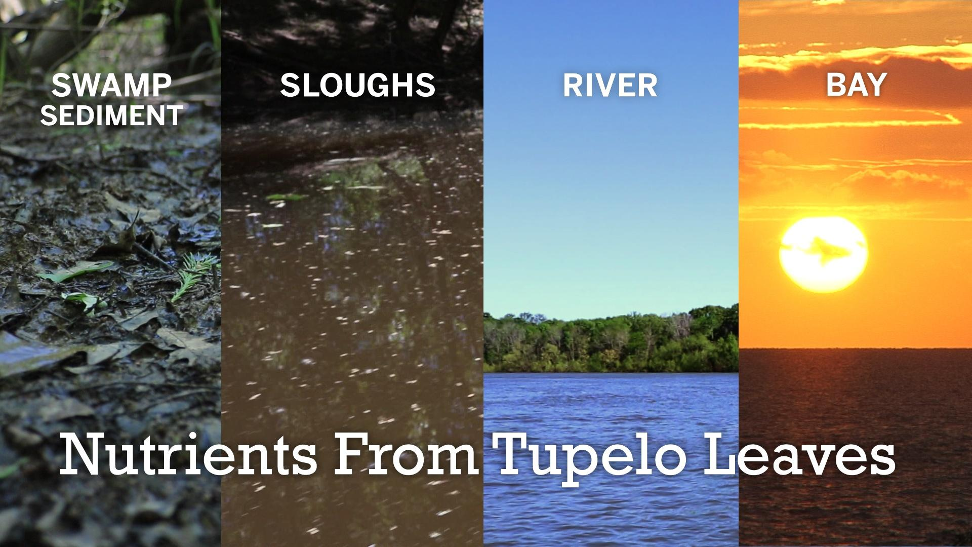 How do Tupelo Trees and Crawfish Help Apalachicola Bay?