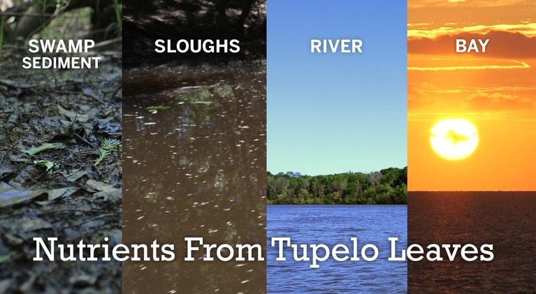 Local Routes: How do Tupelo Trees and Crawfish Help Apalachicola Bay?
