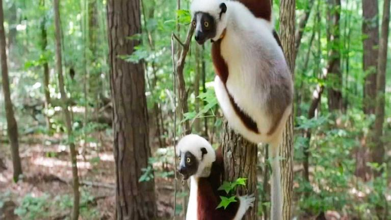 KLRN SciTech Now: Oct. 31, 2019 | Science of the sleeping lemur