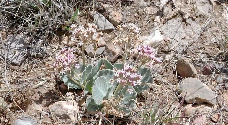 Expeditions with Patrick McMillan: Tufted Milkweed