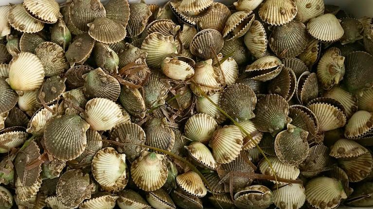 SCI NC: Learning how to restore scallops in NC waters
