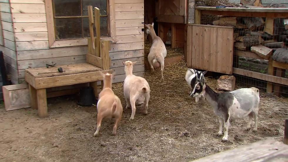 Chickens, Goats in Backyards: Raising Livestock in Chicago image