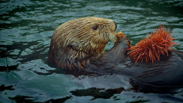 Nature: Otters & Orcas: An Alaskan Mystery