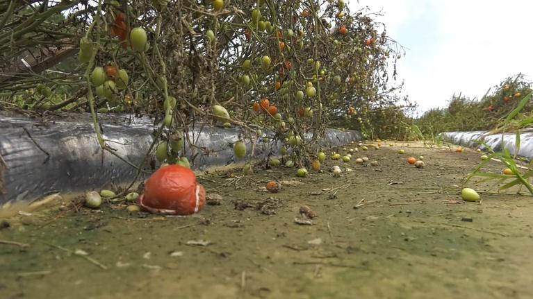 Hurricane Florence: The Lost Crop....Family Farm Market Recovers from Hurricane