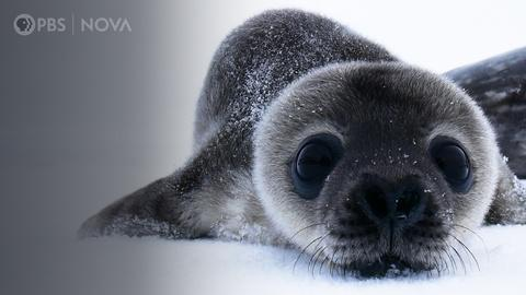 Antarctic Extremes -- How Antarctica's Cutest Baby Seals Grow Up