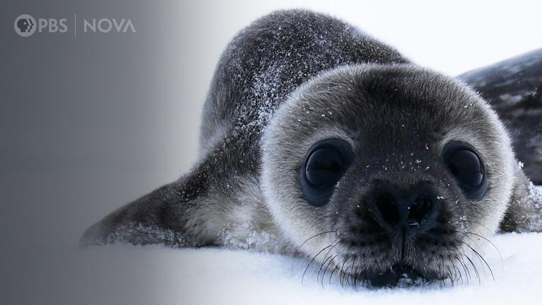Antarctic Extremes: How Antarctica's Cutest Baby Seals Grow Up