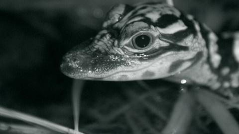 Nature -- Watch Baby Alligators Hunt at Night