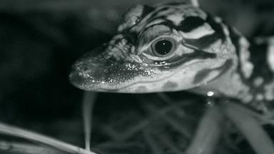 Watch Baby Alligators Hunt at Night