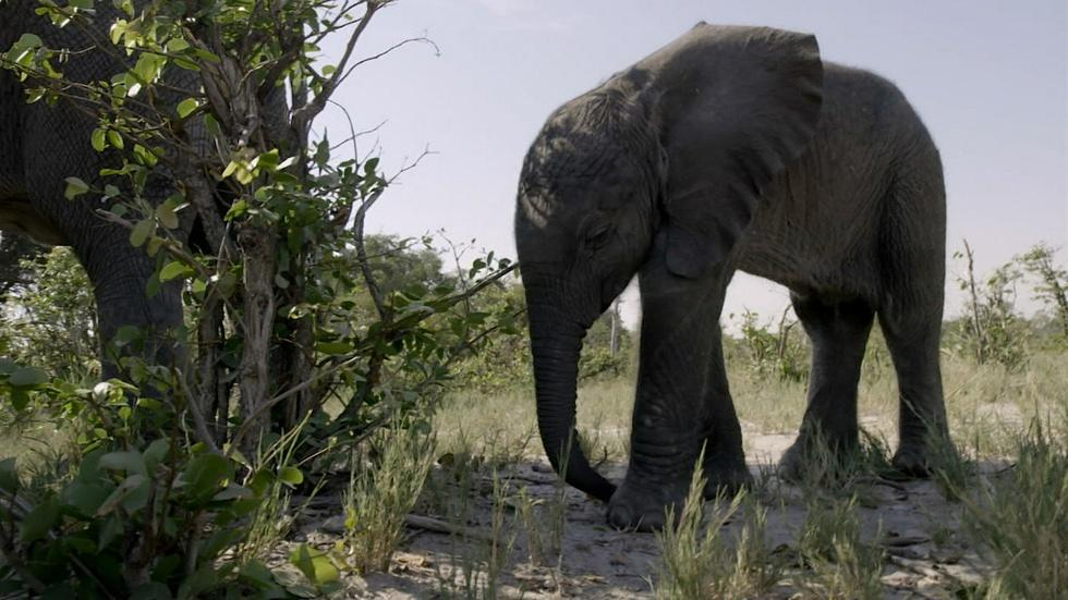 Orphaned Baby Elephant Struggles to Survive image