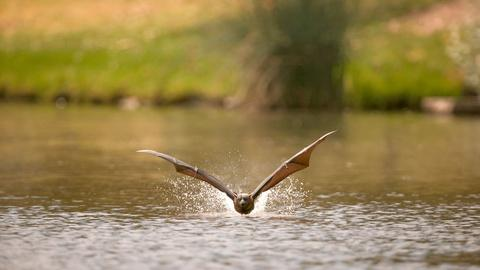 Wild Metropolis -- Flying Foxes Rehydrate in Adelaide's River Torrens
