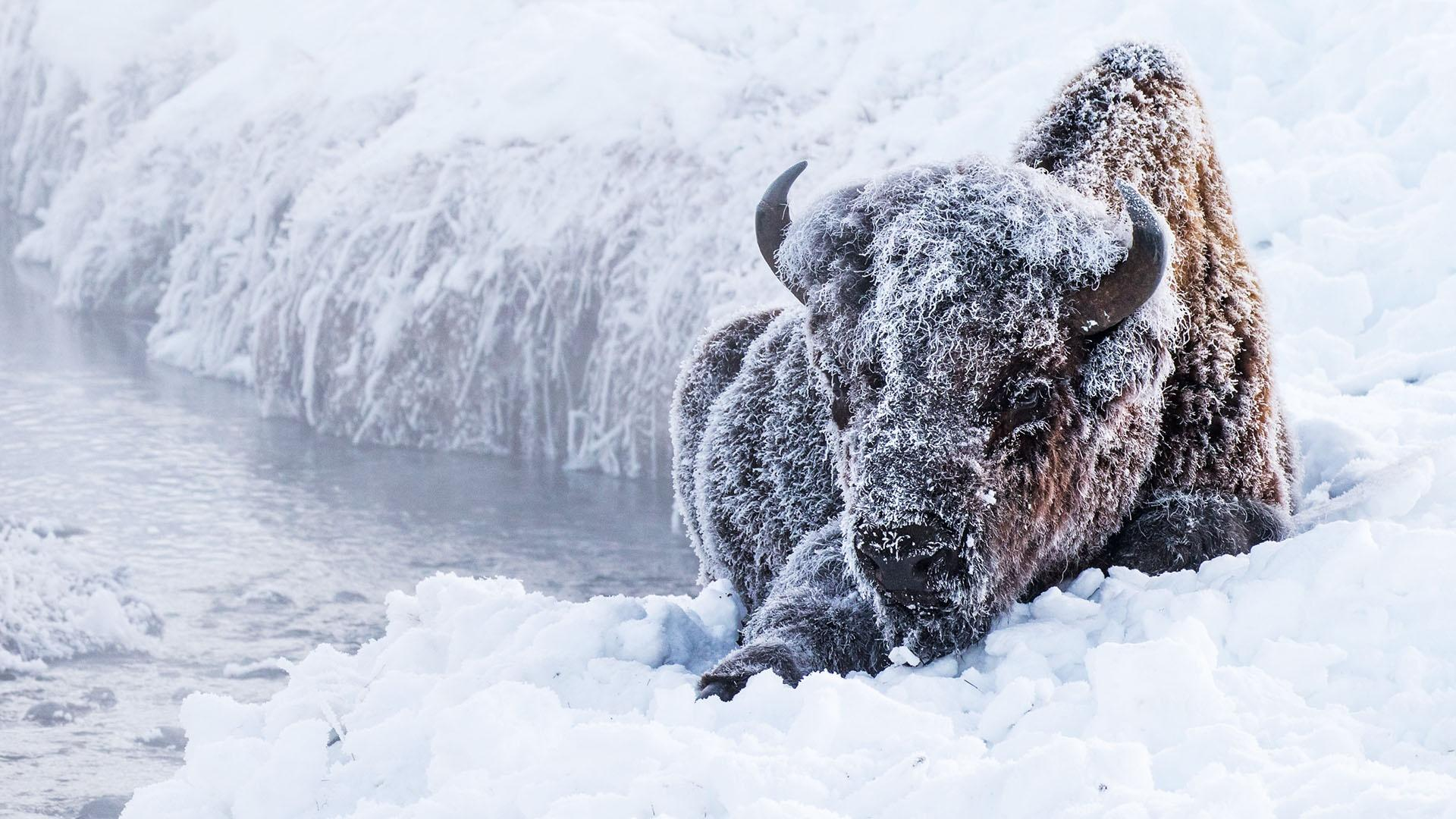 Great Yellowstone Thaw|Official Trailer