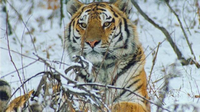 Tigers: Clawing Back | A NATURE Short Film