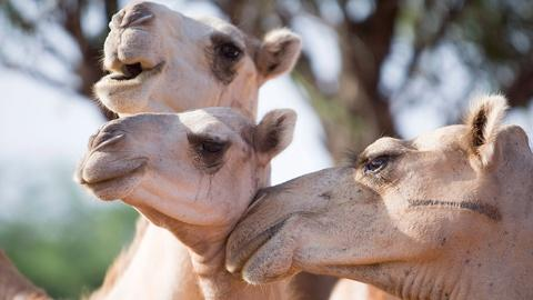 Earth Focus -- Drought Creates Market for Camel Milk in Eastern Africa