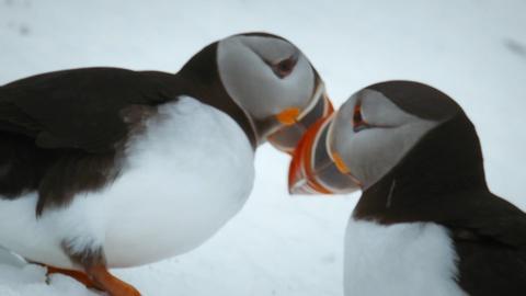 Nature -- Puffins Reunite with Their Lifelong Mates