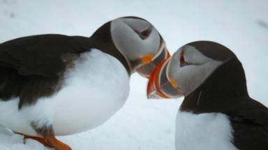 Puffins Reunite with Their Lifelong Mates