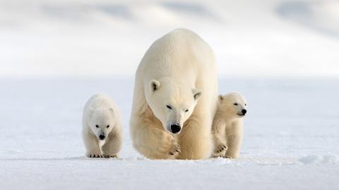 Nature -- Snow Bears