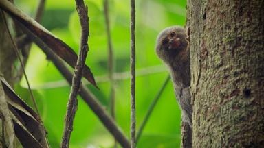 Meet the World's Smallest Monkey