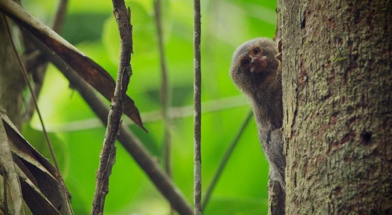 Nature: Meet the World's Smallest Monkey