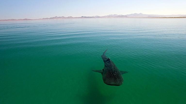Big Pacific: Voracious