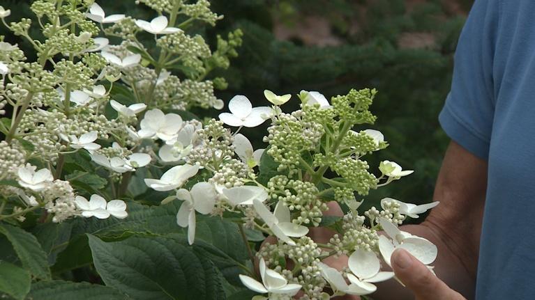 Backyard Farmer: Backyard Farmer: Management for Hydrangea Plants