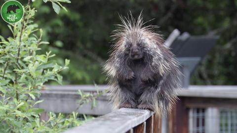 Wild Alaska Live -- Porcupine Problems