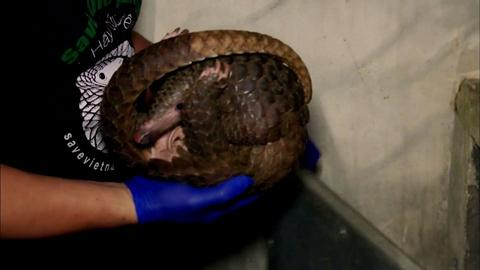 Nature -- Rescued Pangolins Treated for Injuries