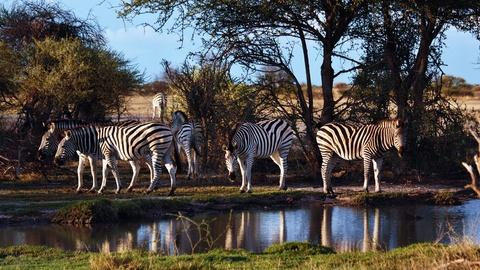 Nature's Great Race -- Zebra