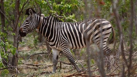 Nature's Great Race -- Meeting Winnie the Zebra