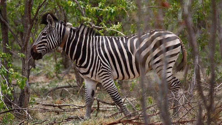 Nature's Great Race: Meeting Winnie the Zebra