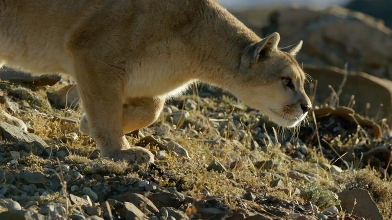 Kingdoms of the Sky: The Biggest Cat in the Andes